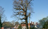 Photo of Crown Reduction on a mature Oak tree (for the Forestry Commission) - New Forest, Hampshire