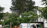 Photo of Tree Felling (Monkey Puzzle) - Southampton, Hampshire