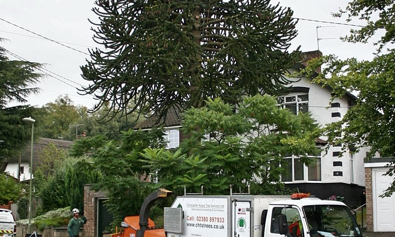 Tree Felling (Monkey Puzzle) - Southampton, Hampshire