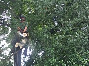 Arborist Brad uses the short handled hedge trimmers to gently bring all of the hedge into line thumb