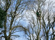 Arborist Hamish sets his anchor high in the tree allowing him to navigate the entire crown without re-navigating thumb