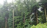 Photo of Crown Reduction, Utility Arboriculture - Bushey, Dorset