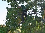 Arborist Dan uses all his experience to navigate this small crown thumb