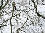 Arborist Rob tidy's up at the top of this limb thumb