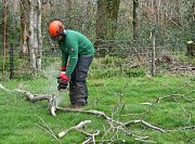Grounds Man Kyle cuts and stacks all good timber at the base of each tree felled thumb