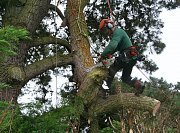 Arborist Mike starts to take out some of the weight of this limb thumb