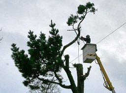 Arborist Paul Freeman working on a Monterey Pine from the CHTS Transit MEWP thumb