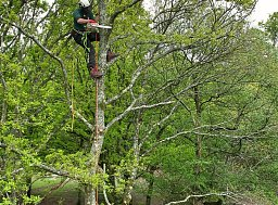 Arborist Alex working on this reduction and the removal of any major deadwood thumb