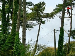 Arborist Henry working high in this Pine for Lepe Country Park thumb