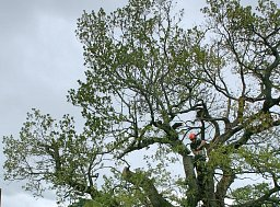 Sometimes our works involve the preservation of older trees. This Oak had serious decay in many of its major limbs thumb