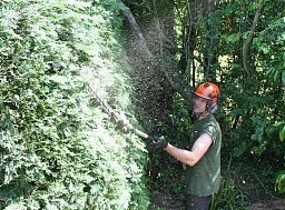 Arborist Henry making use of the Long Pole Hedge Trimmers on this Domestic clients Hedge thumb