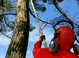 Arborist Henry Rule Deadwooding a Pine using insulated rods thumb