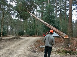 Arborist Lawrence Byron straight felling this Pine for the Forestry Commission thumb