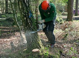 Arborist Henry Rule felling a root heaved tree in a New Forest campsite thumb