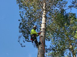 Arborist Trevor Lawrance setting the Winch Line to this Pine thumb