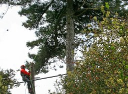 Arborist Henry working on this Pine between the power lines thumb
