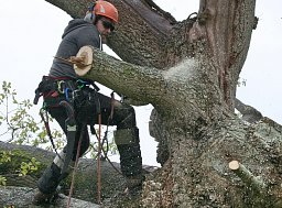 Arborist Dane working on the Reduction to this Oak tree thumb
