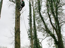Tree Removal - Alderbury (Continued) thumb