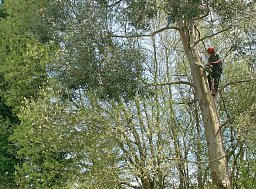 Tree Felling - Fordingbridge thumb