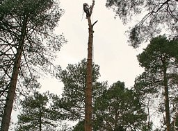 Arborist Lawrence Byron taking this Pine Tree down in sections for the Forestry Commission thumb