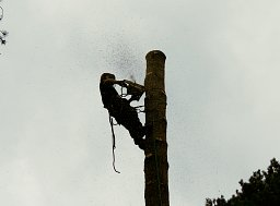 Arborist Lawrence Byron snedding down the main stem on this Forestry Commission Fell thumb