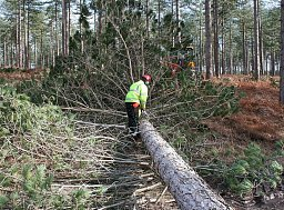 Arborist John Dean snedding the Pine Tree ready for it to be removed by a Harvester thumb